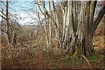 NH5757 : Ageing beech trees, Drummondreach Oak Wood by Julian Paren