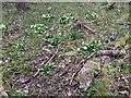 TF0720 : Primrose patch  by Bob Harvey