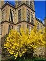 SK4663 : Forsythia bush at Hardwick Hall by Graham Hogg