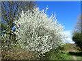 TQ4677 : Blackthorn blossom on East Wickham Open Space by Marathon