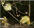 SX8670 : Pussy willow, Decoy Country Park by Derek Harper