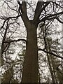 TF0820 : The Y-shaped Oak by Bob Harvey