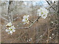 SU9587 : Blackthorn blossom on thorny twig, Egypt Woods by David Hawgood