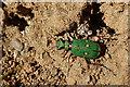 NJ4357 : Green Tiger Beetle (Cicindela campestris) by Anne Burgess