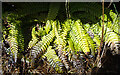 NJ2537 : Hard Fern (Blechnum spicant) by Anne Burgess