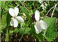 NJ3458 : Sweet Violet (Viola odorata) by Anne Burgess