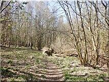NS7791 : Path, Fir Park by Richard Webb