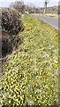 NY5345 : Celendines in the verge on the approach to Ainstable from the south by Roger Templeman