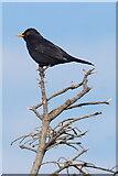 HP6008 : Male Blackbird, Baltasound by Mike Pennington