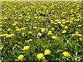 SO8931 : Dandelion flowers by Philip Halling