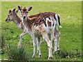 SJ7582 : Tatton Deer Park, Deer in Saddleback Wood by David Dixon