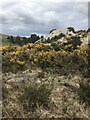 SW9854 : Gorse bushes by Jay Pea