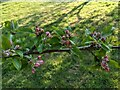 TF0820 : Buds on the apple tree by Bob Harvey