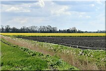 TL6691 : Brandon Bank, Black Drove: Oil seed rape crop and another yet to show by Michael Garlick