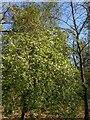 TF0820 : Malus sylvestris by Bob Harvey