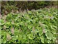 SK6846 : Common Butterbur - Petasites hybridus – 1 by Alan Murray-Rust