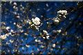 TF0919 : Cherry Blossom on the Wellhead by Bob Harvey