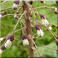 SK6846 : Common Butterbur - Petasites hybridus – 3 by Alan Murray-Rust
