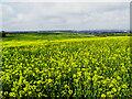 SU2180 : Oilseed rape field, The Ridgeway, Liddington by Brian Robert Marshall