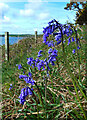 NX0472 : Bluebells at Garry Point by Mary and Angus Hogg