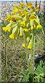 NJ4466 : Cowslip (Primula veris) by Anne Burgess