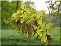 SO7842 : New oak leaves by Philip Halling