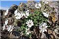 NJ4568 : Sea Campion (Silene uniflora) by Anne Burgess