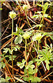 NJ2442 : Moschatel (Adoxa moschatellina) by Anne Burgess