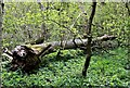 TQ7819 : Fallen ash tree, Killingan Wood, Sedlescombe by Patrick Roper