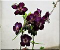 TQ7818 : Geranium phaeum, the mourning widow, on a plant stall in Churchland Lane by Patrick Roper