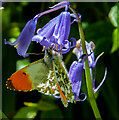SO4522 : Butterfly and Bluebell by Stuart Wilding