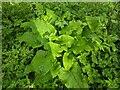 TF0820 : Big flat leaves by Bob Harvey