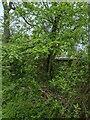 TF0820 : Acer campestre by Bob Harvey