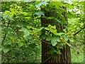 TF0720 : Field Maple in bloom by Bob Harvey