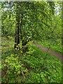 TF0720 : Tiny Oak on the corner by Bob Harvey