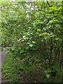 TF0720 : Acer campestre in flower by Bob Harvey