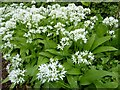 SO7742 : Ramsons or wild garlic by Philip Halling