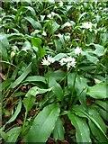 NU2011 : Wild garlic by Russel Wills