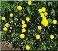 NJ3458 : Dandelions by Anne Burgess