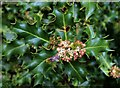 TQ7818 : Holly flowers in Churchland Lane hedge, Sedlescombe by Patrick Roper