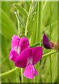 NJ4163 : Common Vetch (Vicia sativa) by Anne Burgess