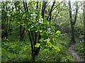 TF0820 : Hawthorn Blossom by Bob Harvey