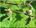 TQ7818 : Big bud galls on hazel, Churchland Lane, Sedlescombe by Patrick Roper