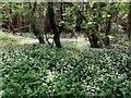 H1858 : Wild garlic, Rossachrin by Kenneth  Allen