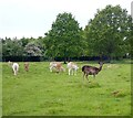 SP2555 : Charlecote Estate - Dear in the park by Rob Farrow