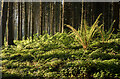 J4477 : Ferns, Cairn Wood by Rossographer