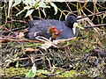 SD7807 : Coot with 2 Chicks on the Nest by David Dixon
