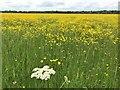 TL2470 : A mass of buttercups on Port Holme flood meadow near Godmanchester by Richard Humphrey