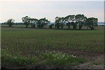 TM0414 : Field by East Road, East Mersea by David Howard