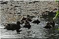 NJ3459 : Ducklings by Anne Burgess